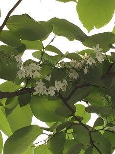 Fragrant Snowbell/ ハクウンボク 花のアップ