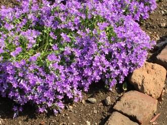 オトメギキョウの花 全景