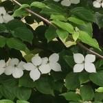 きれいに並んだヤマボウシの花