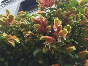 コエビソウ 花のアップ