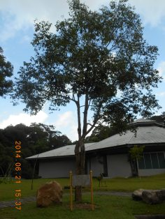 Jambolana/ ムラサキフトモモの木の全景