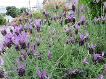 French lavender/ フレンチラベンダー