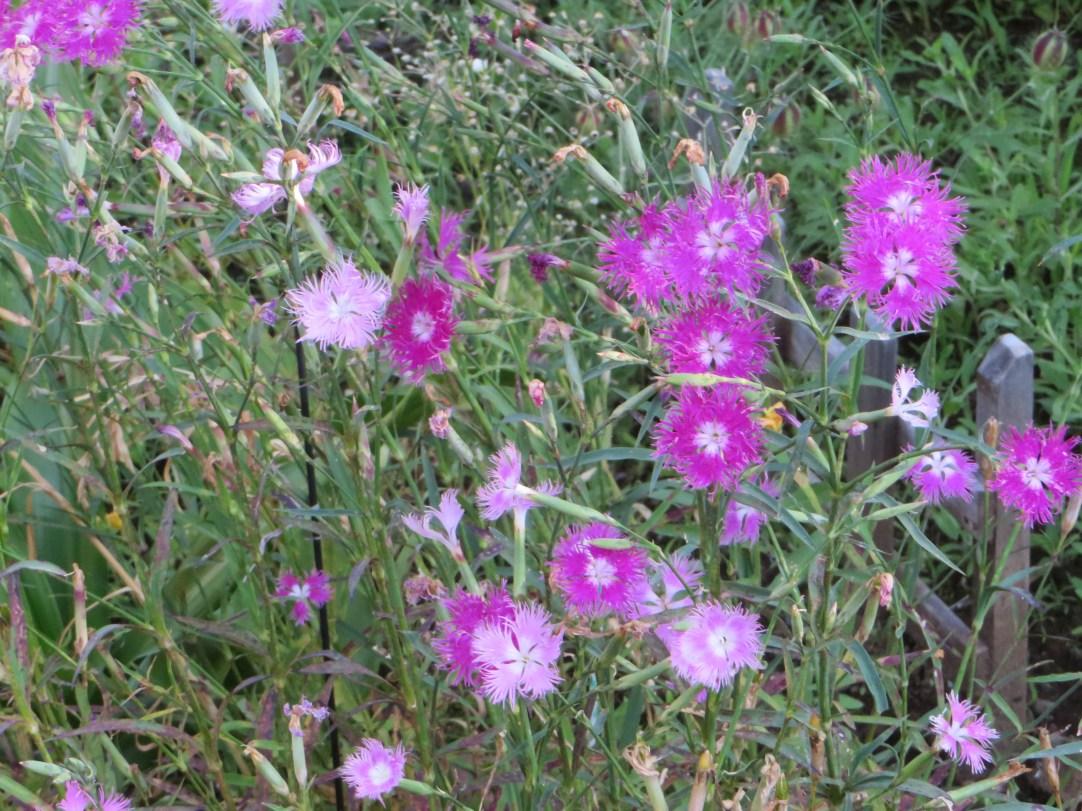 ナデシコの花