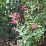 オータムセージ?の花の姿