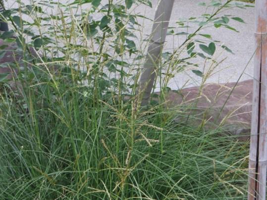 イトススキの葉と幼穂