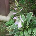 斑入りのギボウシの花