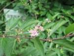 Purple Beautyberry/ コムラサキシキブ