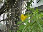 Yellow oleander/ キバナキョウチクトウ