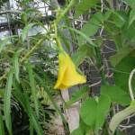 キバナキョウチクトウの花