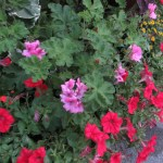 Flower of Horse-shoe pelargonium テンジクアオイ
