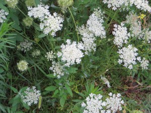 ノラニンジンの花の様子