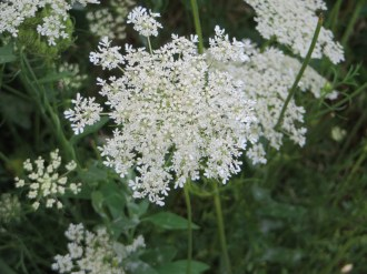 Flower od wild carrot