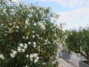 Oleander tree キョウチクトウ