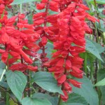 サルビア 花のアップ