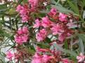 ウィーンのピンクのキョウチクトウ