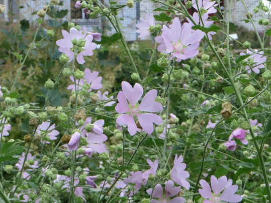 Flower of Kashmir Mallow ハナアオイの仲間