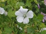 ハナアオイの花