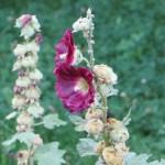 タチアオイの花 アップ