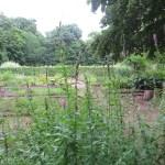 エゾミソハギ 植物の様子