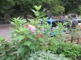 ハナアオイ 植物の姿