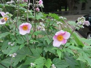 シュウメイギクの花の姿