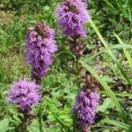 Flowers of Liatris spicata