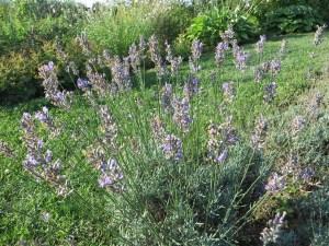 ラベンダーの草の姿