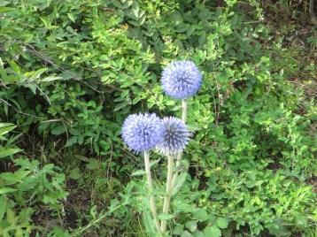 ヒゴタイ 花の姿