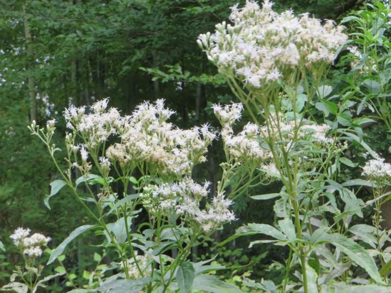 フジバカマの花