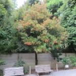 色づき始めたサンゴジュの木の様子