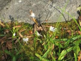 サギソウ 草の姿