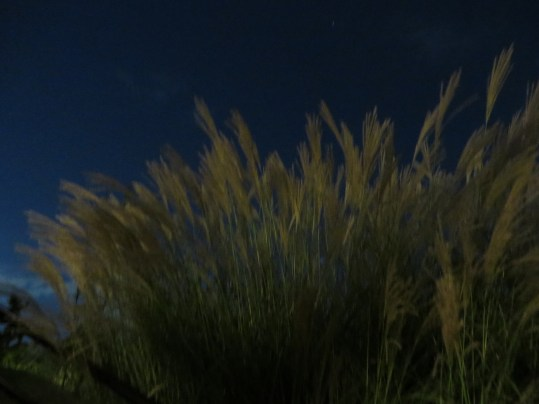 Chinese silver grass/ススキ
