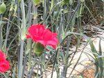 Carnation/カーネーション