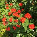 テンジクアオイ/ゼラニウムの花