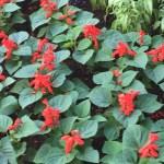 花壇のサルビア