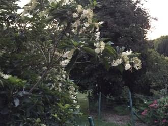 アメリカリョウブ 木の姿