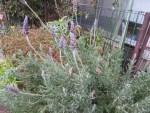 Fringed lavender/ フリンジド・ラベンダー