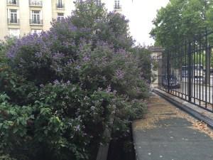 セイヨウニンジンボク  紫色の花