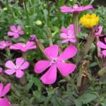 ムシトリナデシコ 花のアップ