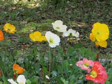 Common poppy/ ヒナゲシ
