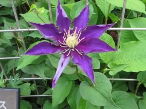 青紫色系のクレマチス(やや盛りを過ぎた花)