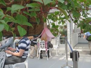 Fuchsia Motti 品種 モッティー