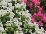 Begonia/ ベゴニア