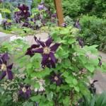 濃紺のクレマチスの花