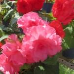 ピンク・赤色系のキュウコンベゴニア