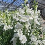 白花のキンギョソウ
