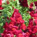 赤花のキンギョソウ アップ