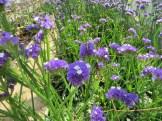 Wavyleaf sea-lavender/ スターチス