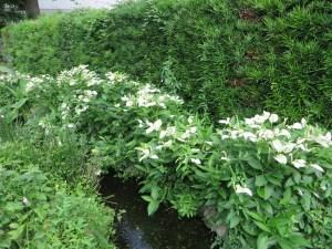 小川の脇で咲くハンゲショウ