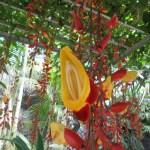 マイソルヤハズカズラ 花のアップ